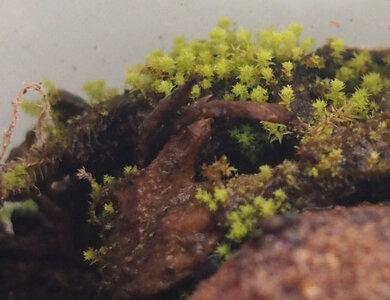 climacium.japonicum.21.02.28.2.jpg