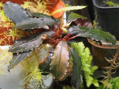 bucephalandra.spec.theia.23.21.04.18.1.jpg