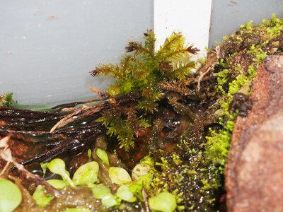 climacium.japonicum.21.06.27.1.jpg