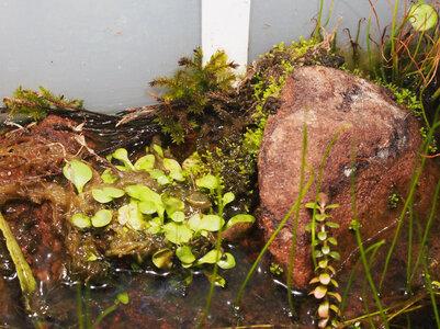 climacium.japonicum.21.06.27.2.jpg