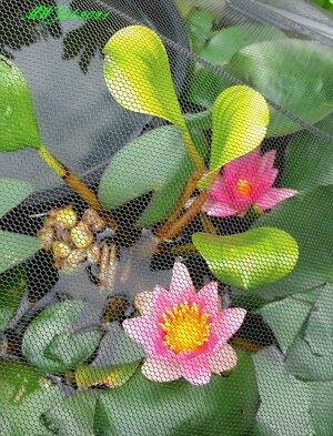 Topfteich Eichhornia.jpg