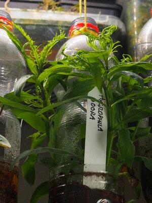 hygrophila.odora.21.08.21.1.jpg