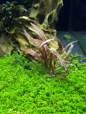 Cryptocoryne albida brown.jpg