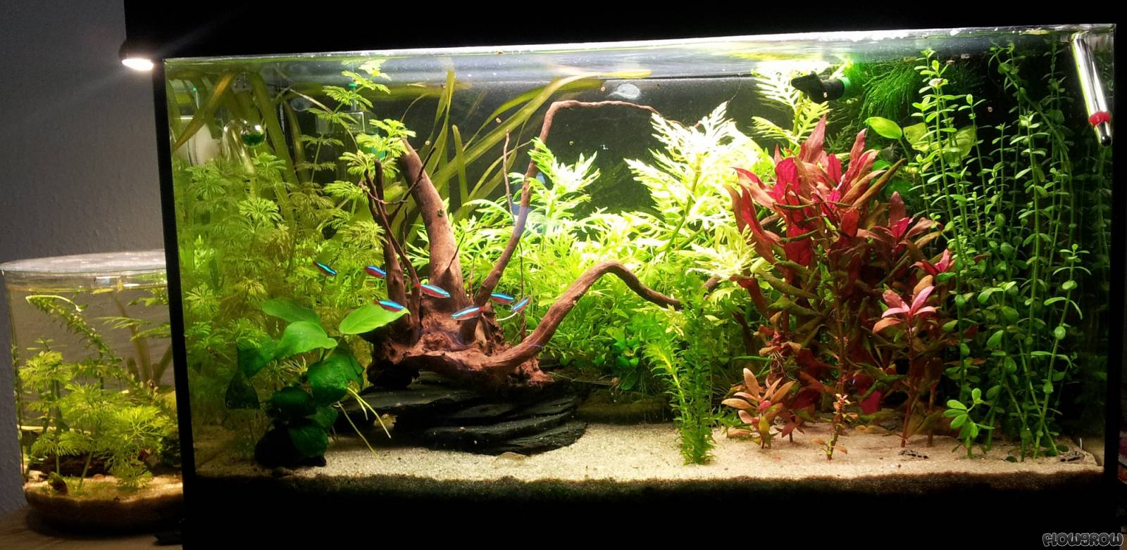 Flowgrow aquascaping aquarium wasserpflanzen for Aquarium im kinderzimmer