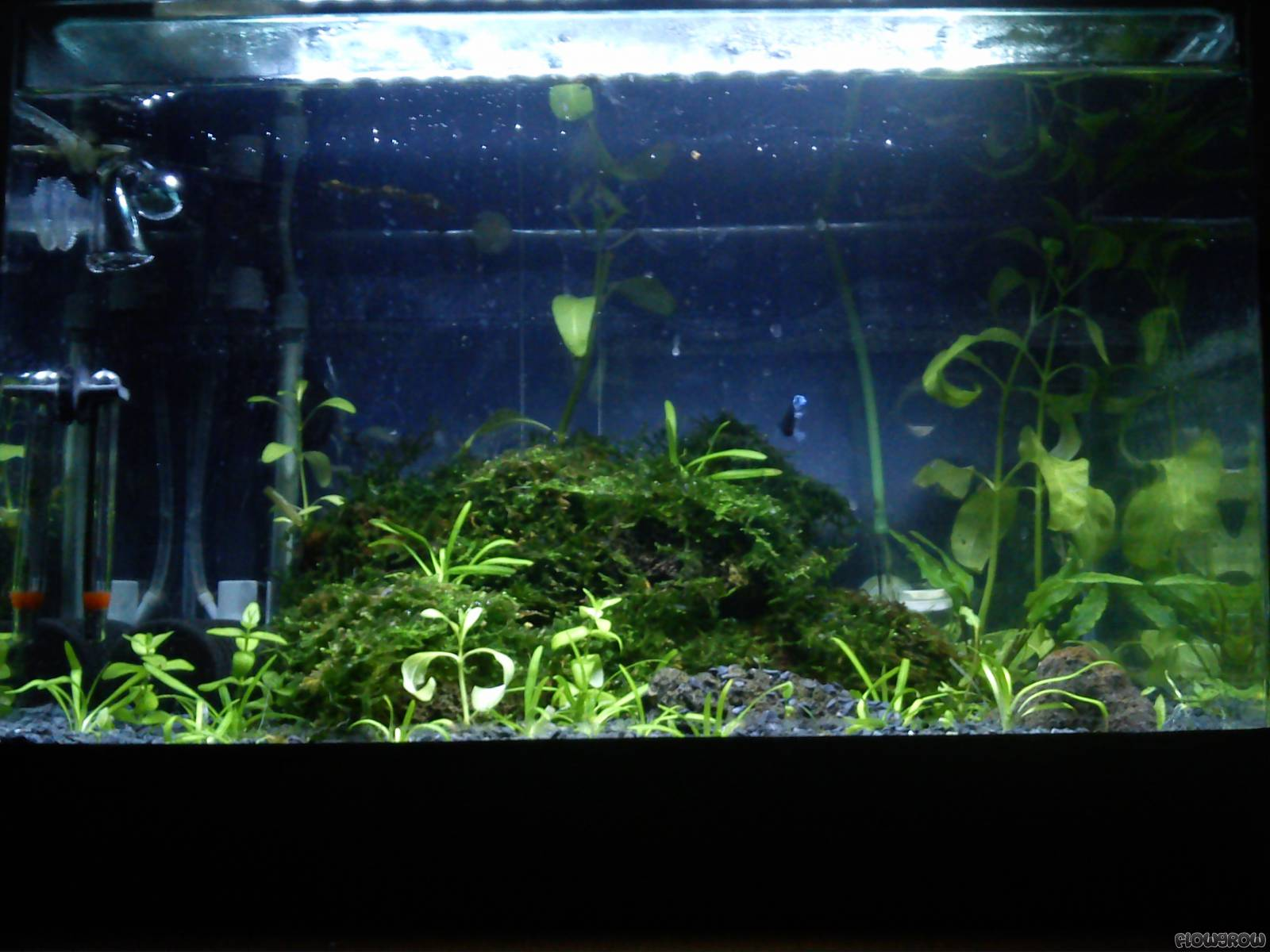 characidano flowgrow aquascape aquarien datenbank. Black Bedroom Furniture Sets. Home Design Ideas