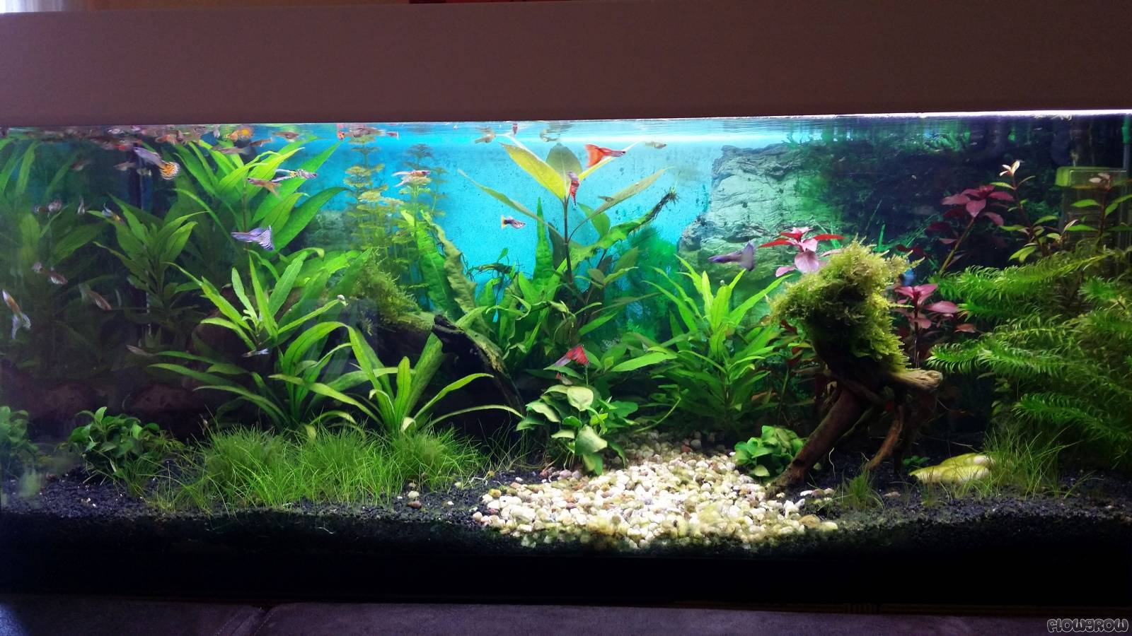 Guppybecken flowgrow aquascape aquarien datenbank for Neon aquarium