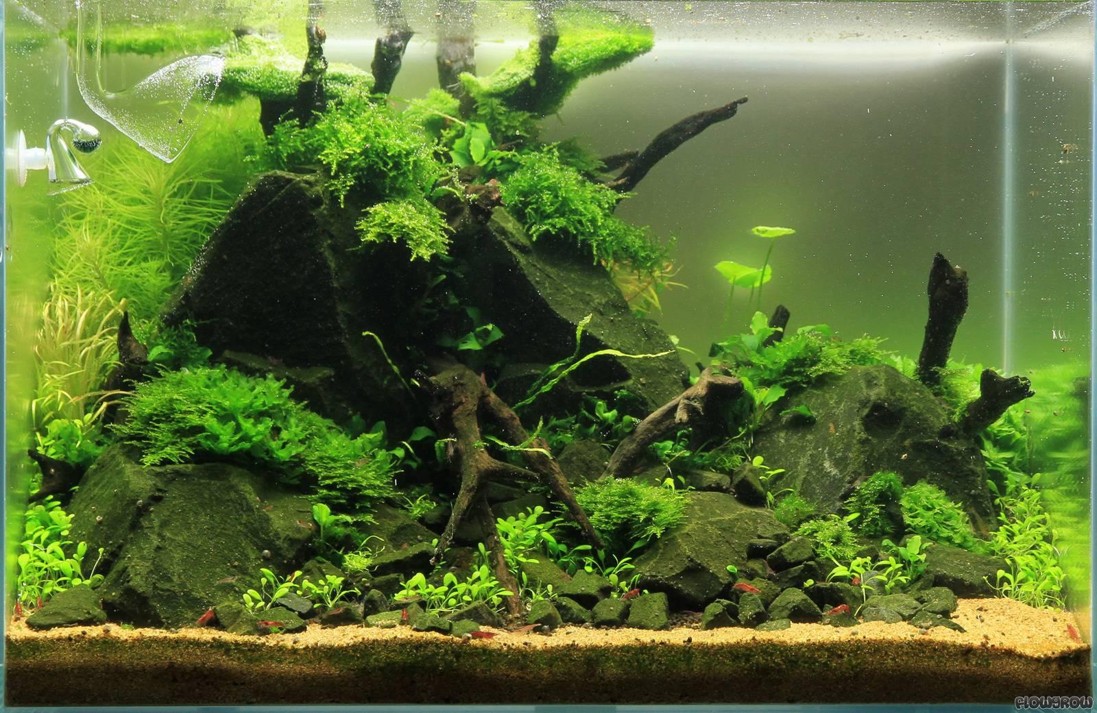 how to grow moss on rocks in aquarium