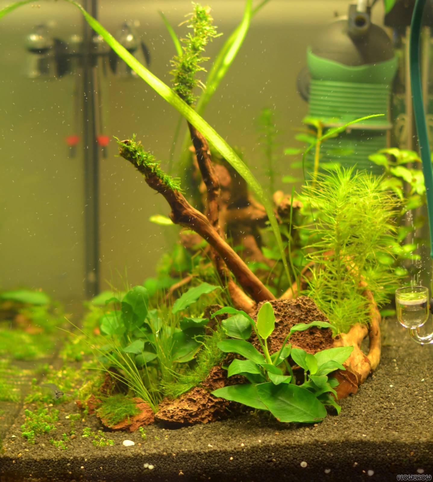 ying yang flowgrow aquascape aquarien datenbank. Black Bedroom Furniture Sets. Home Design Ideas