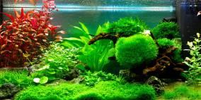 riccia fluitans teichlebermoos flowgrow wasserpflanzen. Black Bedroom Furniture Sets. Home Design Ideas