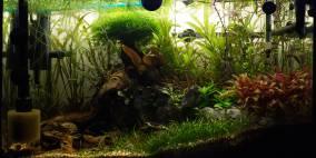 Danio nigrum - Flowgrow Aquascape/Aquarien-Datenbank