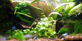 Labyrinthfisch - Becken - Flowgrow Aquascape/Aquarien-Datenbank