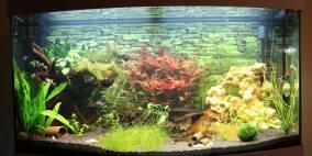 alternanthera reineckii 39 rot 39 39 red 39 rotes papageienblatt flowgrow wasserpflanzen datenbank. Black Bedroom Furniture Sets. Home Design Ideas