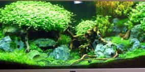 Tripartita cum lapis - Flowgrow Aquascape/Aquarien-Datenbank