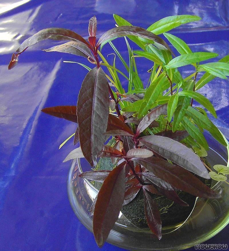 alternanthera sessilis sessile joyweed flowgrow aquatic plant database. Black Bedroom Furniture Sets. Home Design Ideas