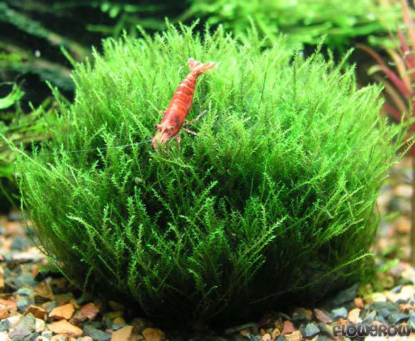 Aquatic Ecosystem And Water Pollution moreover Modification Of Different Parts Of Plant moreover Christmas Moss Caresheet also Tobias Coring Aquascaping also Show262. on aquatic mosses
