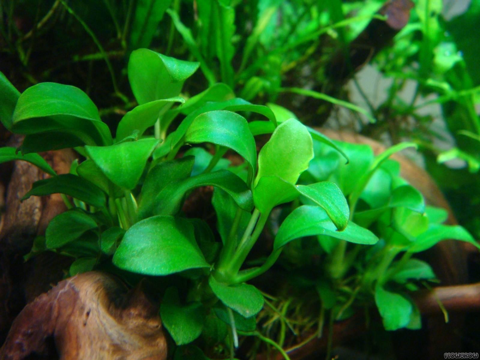 Anubias Barteri Var Nana Petite Bonsai Flowgrow Aquatic Plant Database