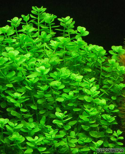 bacopa monnieri rundbl ttrig flowgrow aquatic plant database. Black Bedroom Furniture Sets. Home Design Ideas