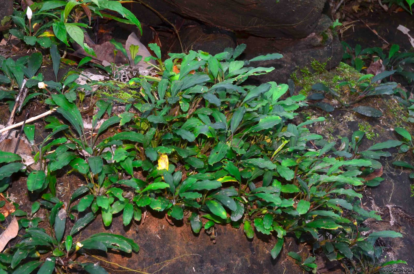 [Share] The Things You Should Know about Bucephalandra Plants bucephalandra motleyana semuntai 516413892f2ae