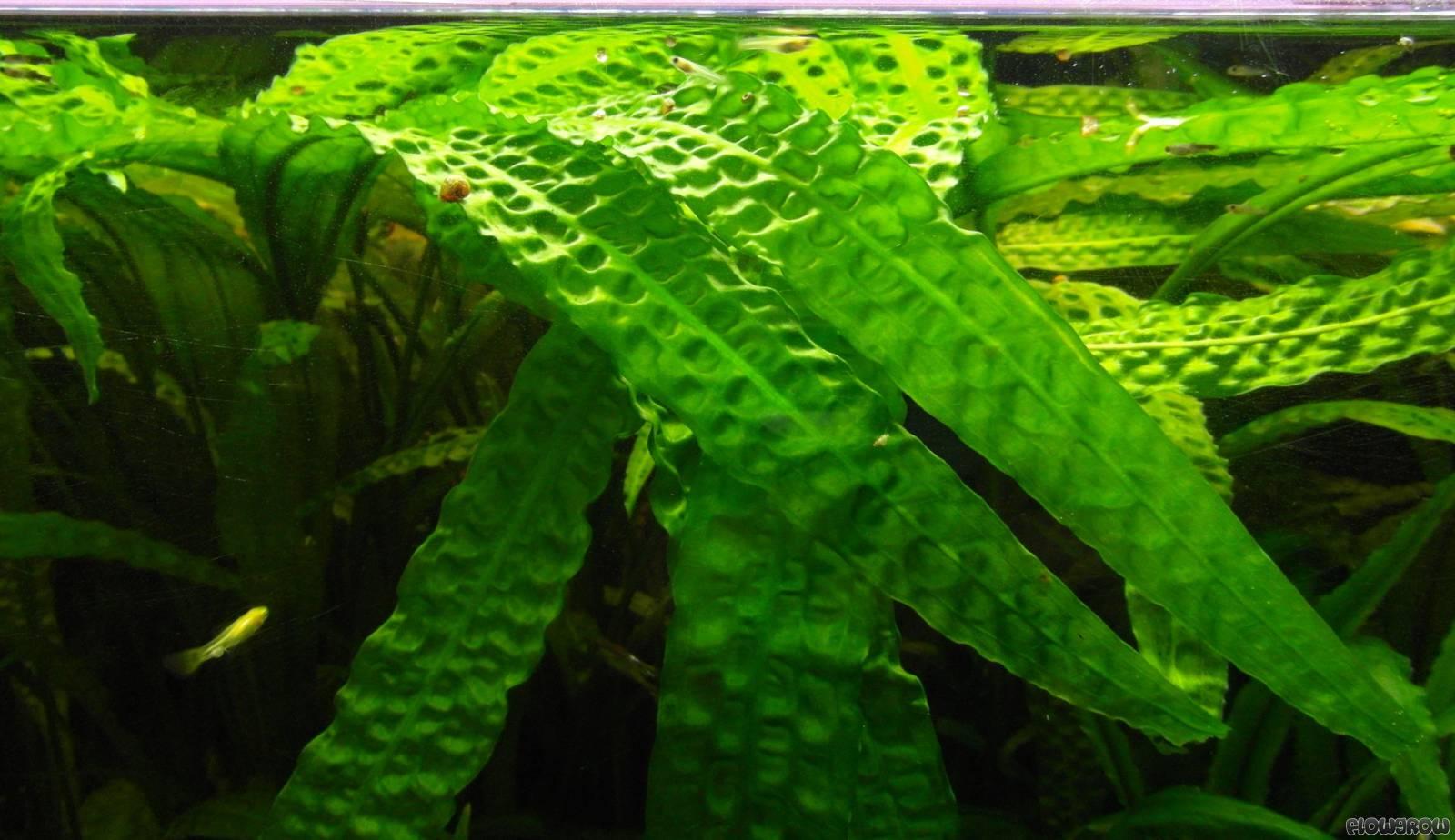 cryptocoryne aponogetifolia flowgrow aquatic plant database. Black Bedroom Furniture Sets. Home Design Ideas