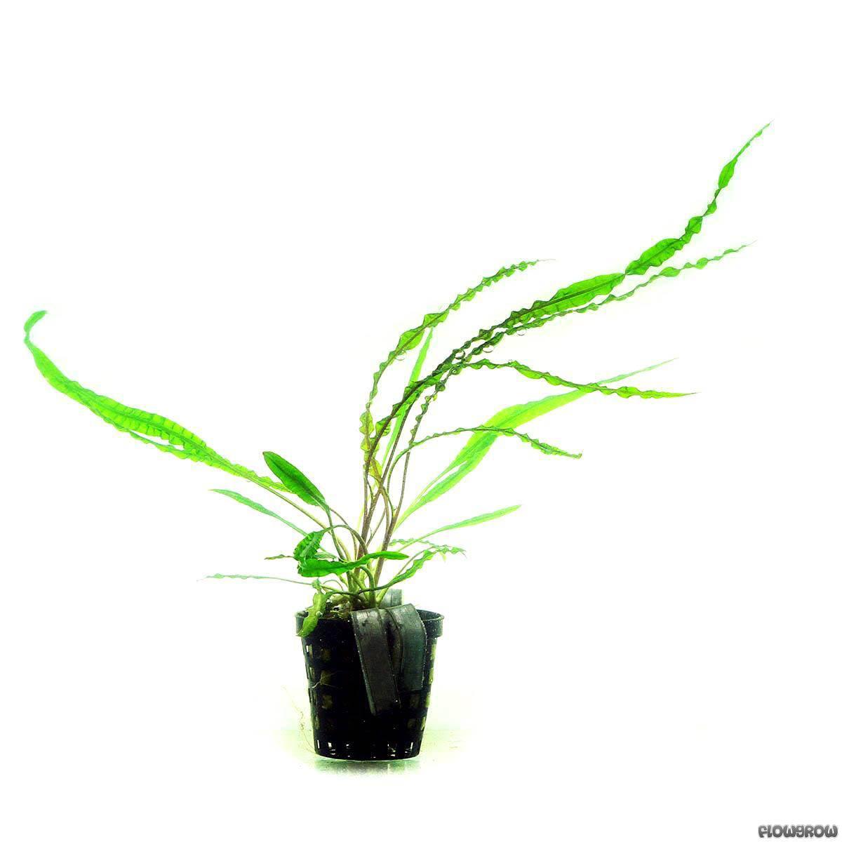 Cryptocoryne Crispatula Var Balansae Flowgrow Aquatic Plant Database