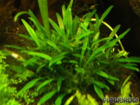 Cryptocoryne parva - Flowgrow Aquatic Plant Database