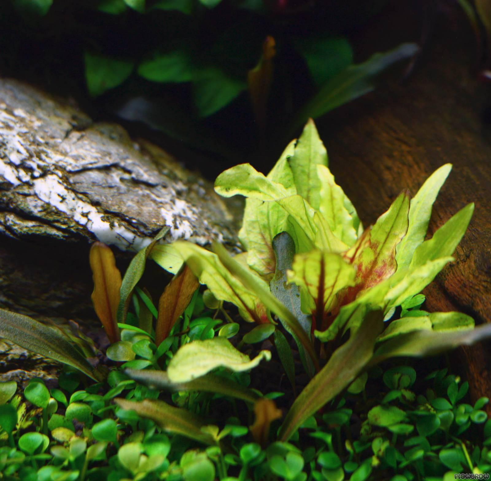 Cryptocoryne Wendtii Green Gecko Flowgrow Aquatic