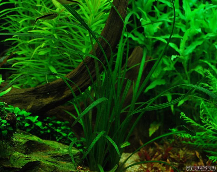 Echinodorus paniculatus (Echinodorus sp. Pantanal), subme...