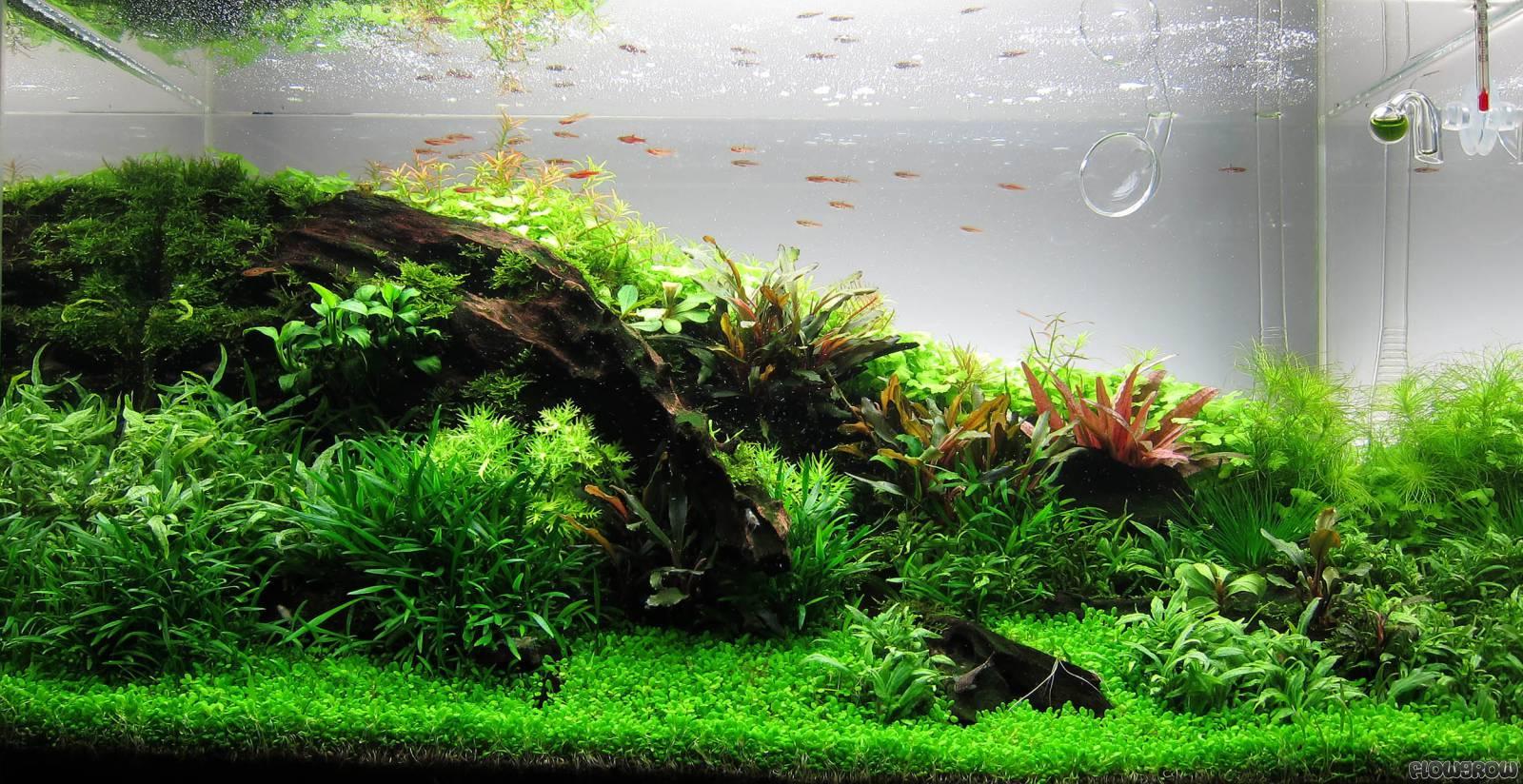 Elatine Hydropiper Eight Stamen Waterwort Flowgrow Aquatic Plant Database