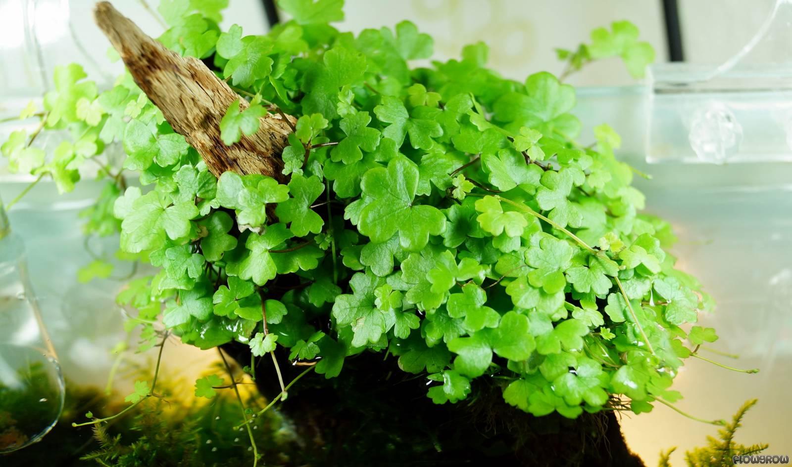 Hydrocotyle Cf Tripartita Flowgrow Aquatic Plant Database