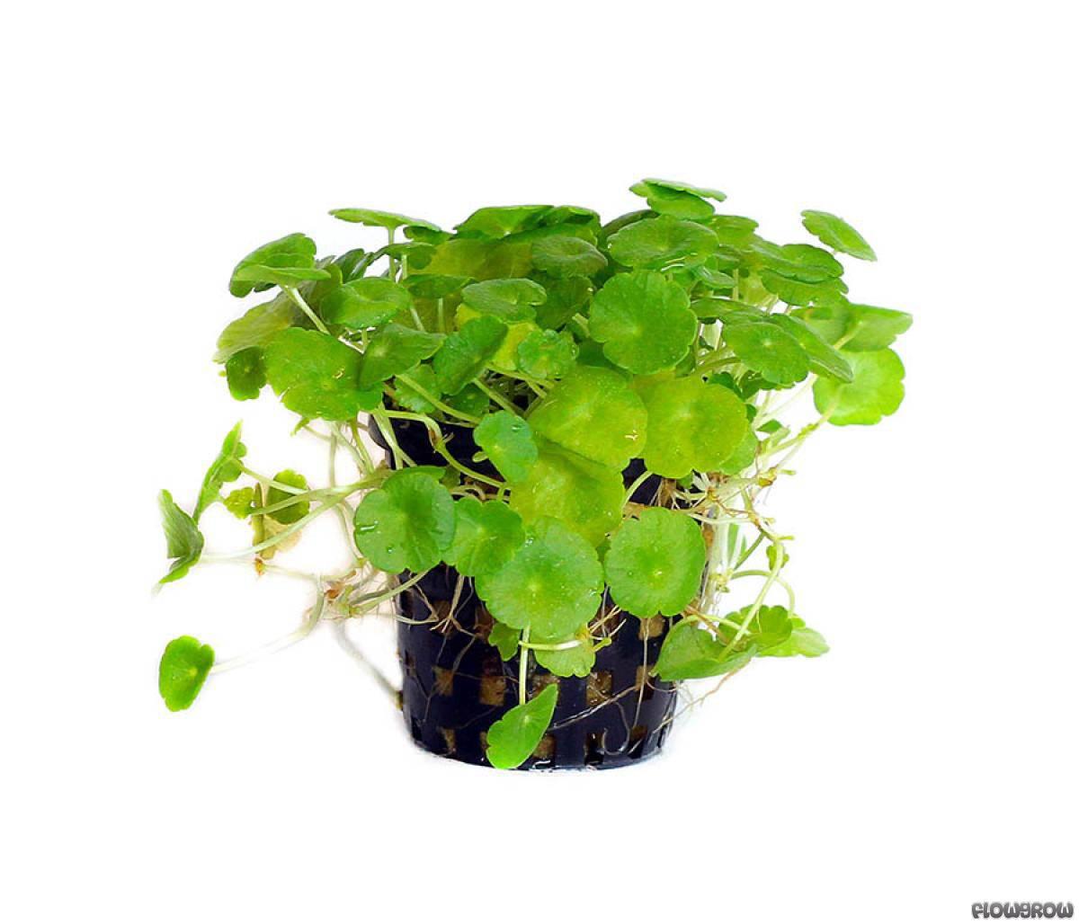 Hydrocotyle Verticillata Whorled Pennywort Flowgrow