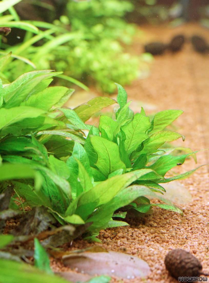 Hygrophila Corymbosa Kompakt Flowgrow Aquatic Plant Database