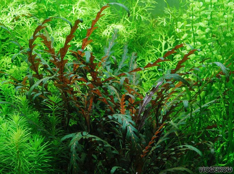 Hygrophila Pinnatifida Flowgrow Aquatic Plant Database