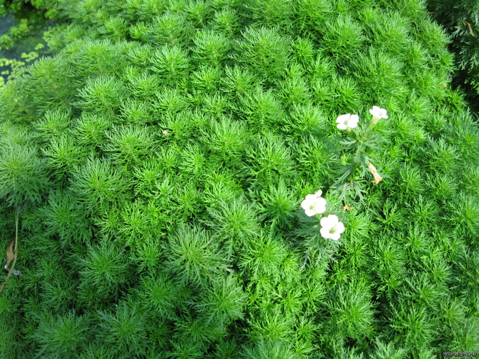 Limnophila Sessiliflora Flowgrow Aquatic Plant Database