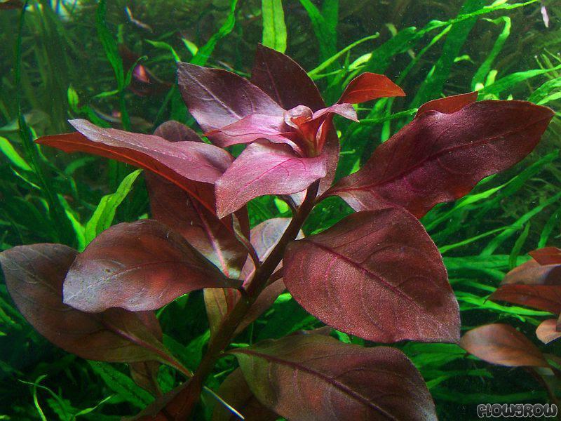 Ludwigia Quot Rubin Quot Ruby Ludwigia Flowgrow Aquatic Plant