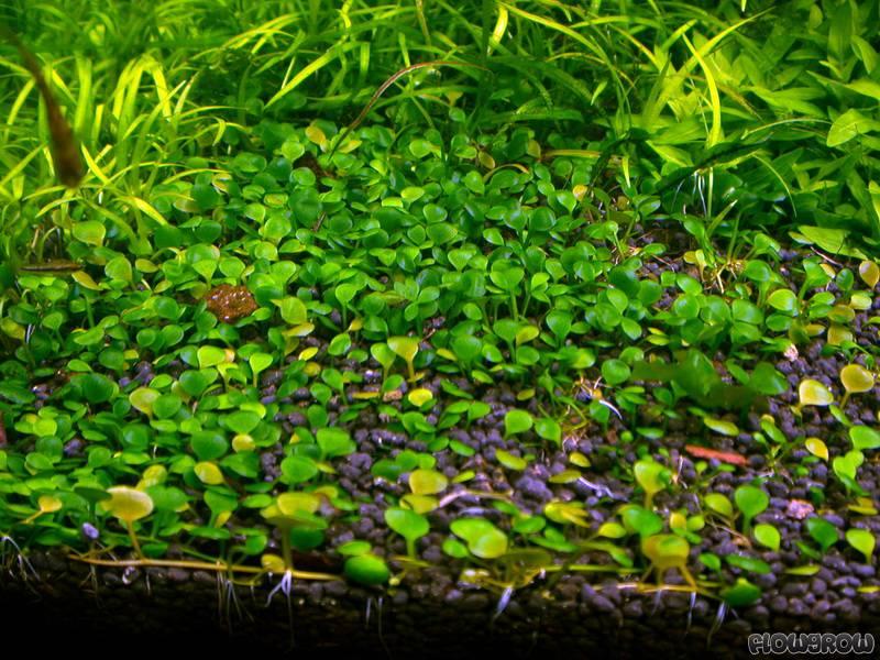 Types Of Aquarium Carpet Plants