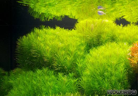 Pogostemon Erectus Flowgrow Aquatic Plant Database