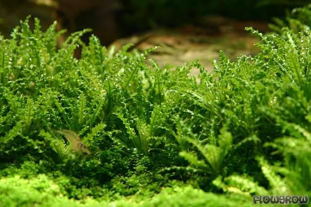 Pogostemon helferi - Downoi - Flowgrow Aquatic Plant Database