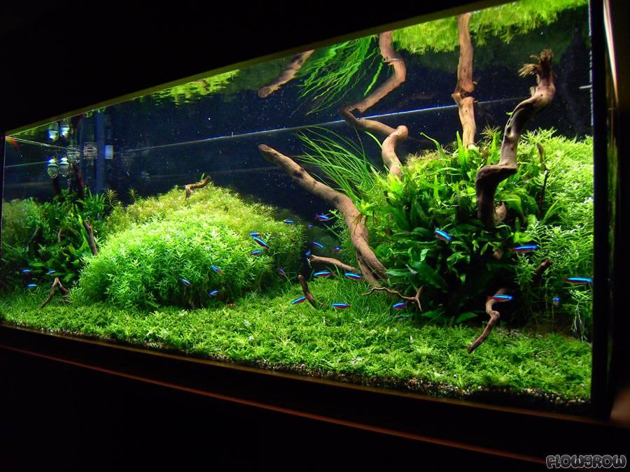 Pogostemon Helferi Downoi Flowgrow Aquatic Plant Database