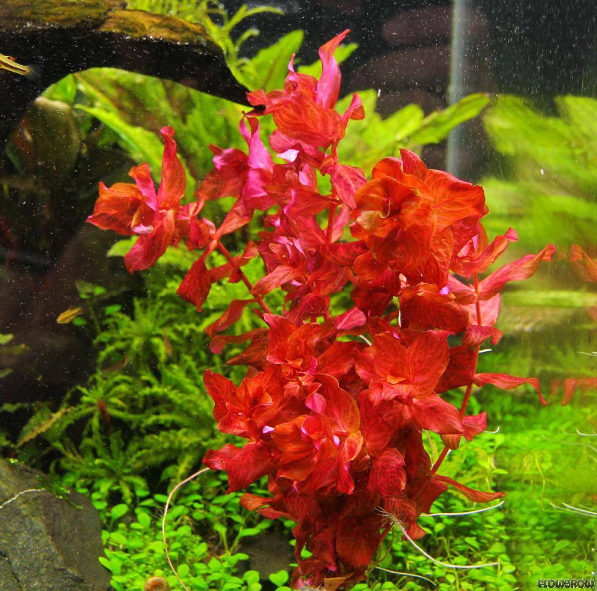 The Aquatic Plant Society - Rotala macrandra ?Variegated?