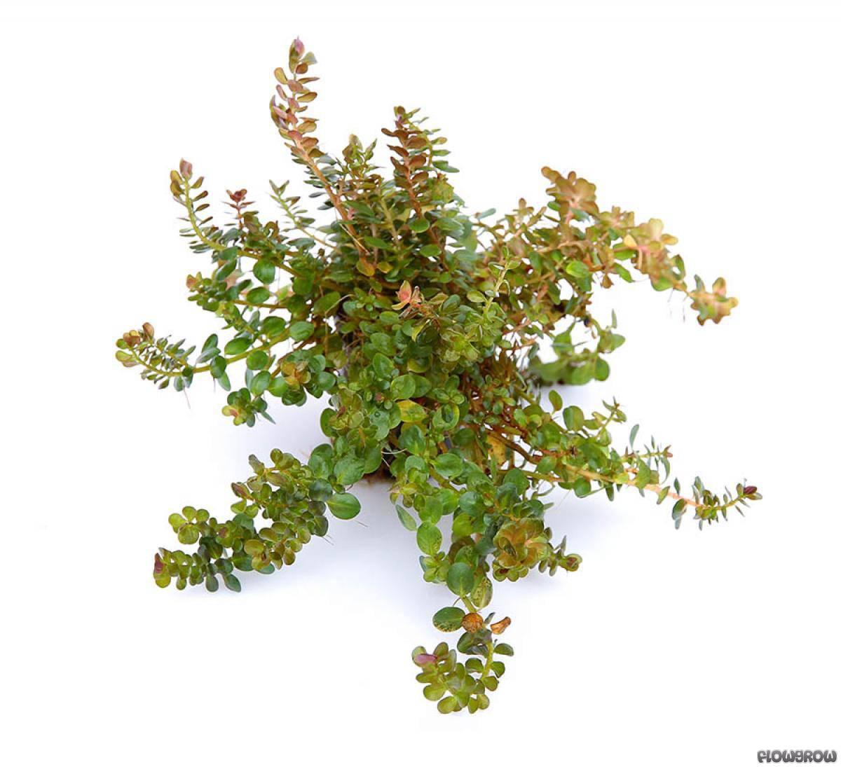 Rotala rotundifolia - Dwarf Rotala - Flowgrow Aquatic ...