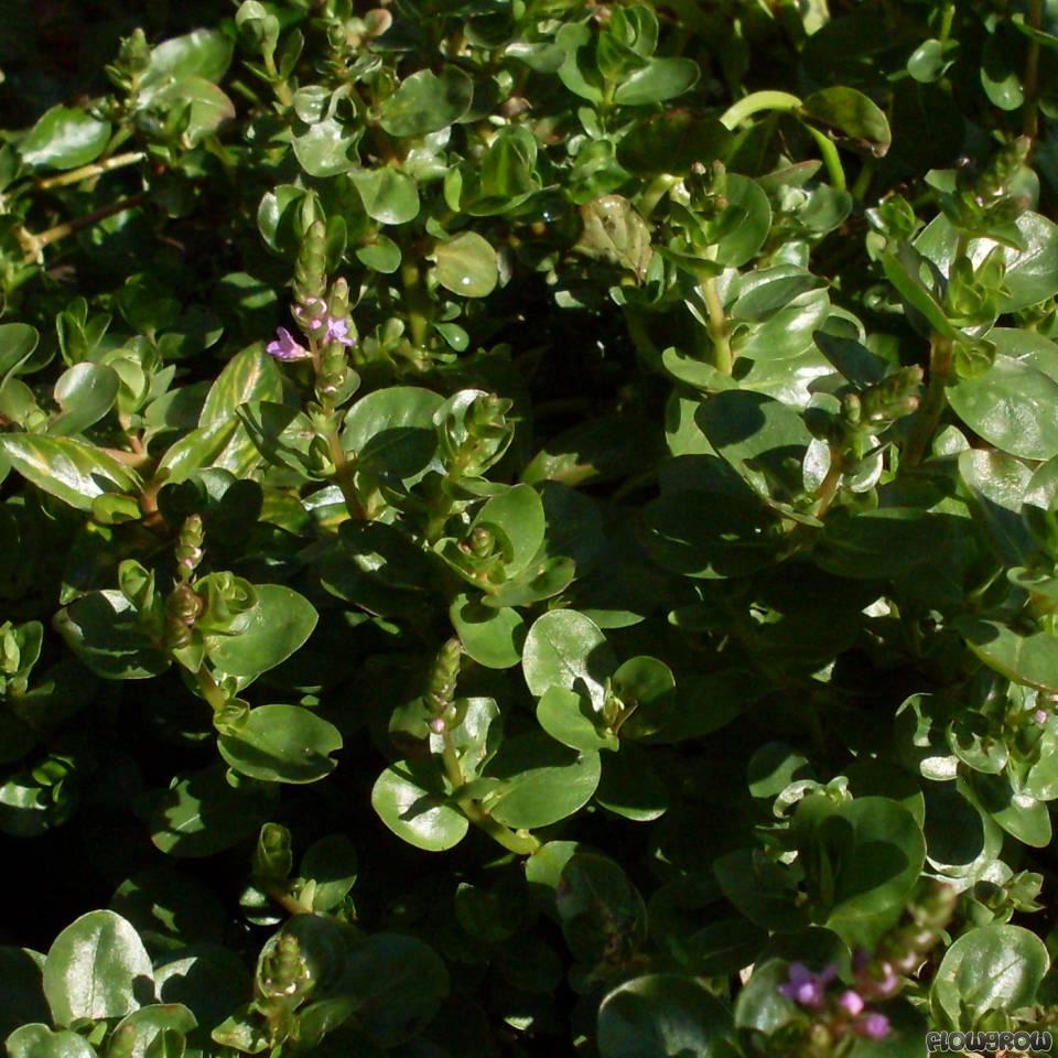 Rotala sp. 'Green' - Flowgrow Aquatic Plant Database