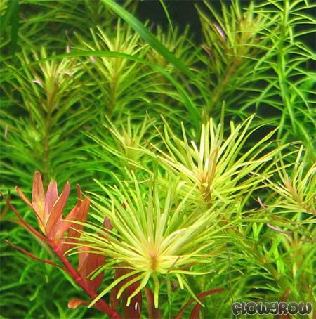 Rotala sp. ''Nanjenshan'' - Flowgrow Aquatic Plant Database