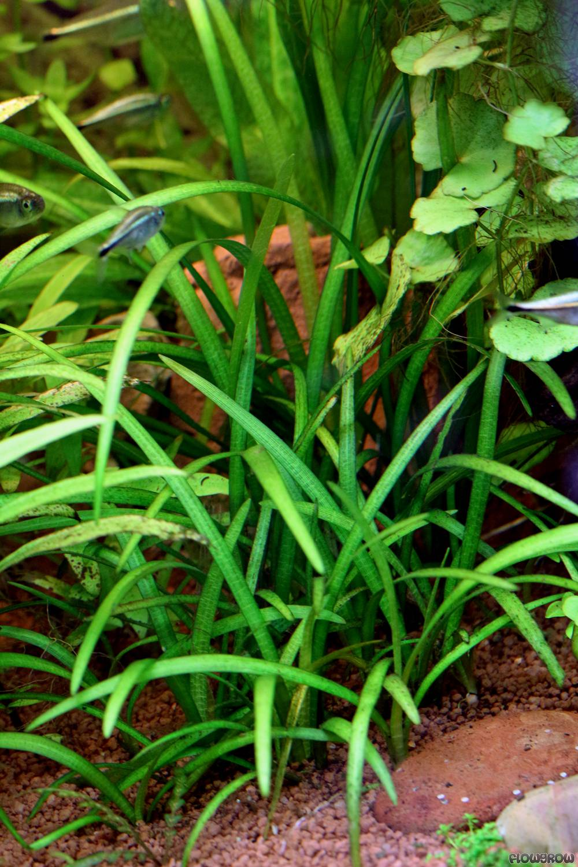 Sagittaria subulata - Awl-leaf arrowhead - Flowgrow Aquatic Plant