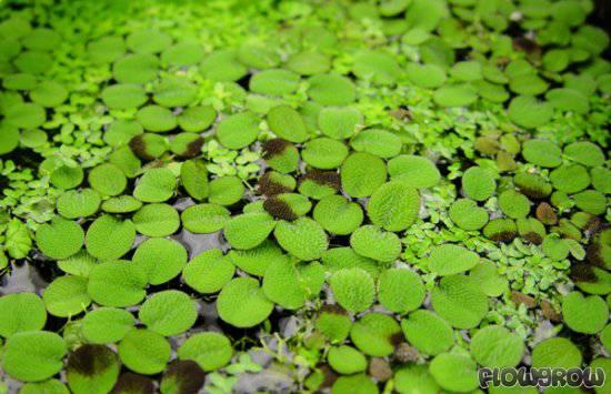 Salvinia minima - Common Salvinia - Flowgrow Aquatic Plant ...