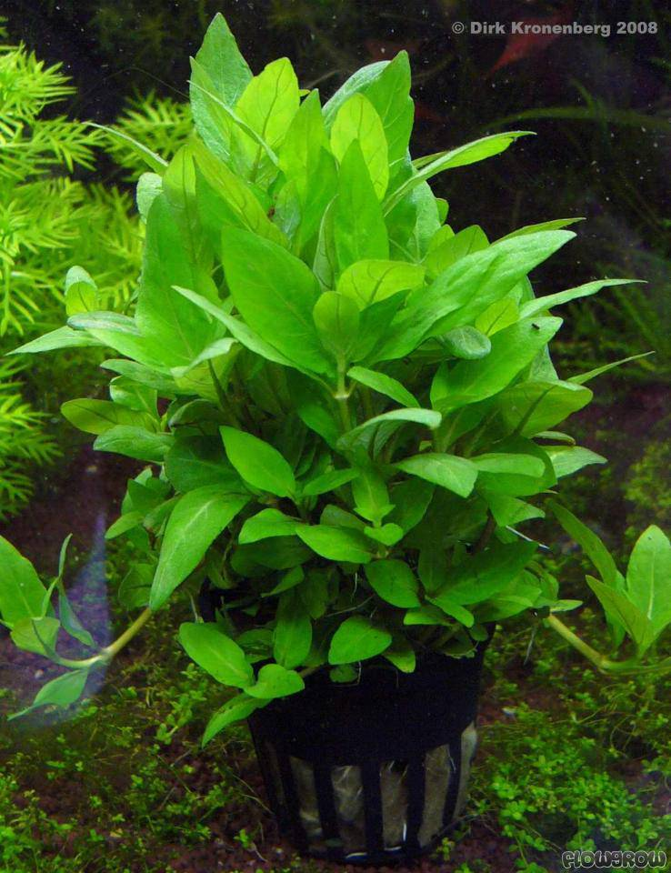 & Staurogyne repens - Flowgrow Aquatic Plant Database azcodes.com