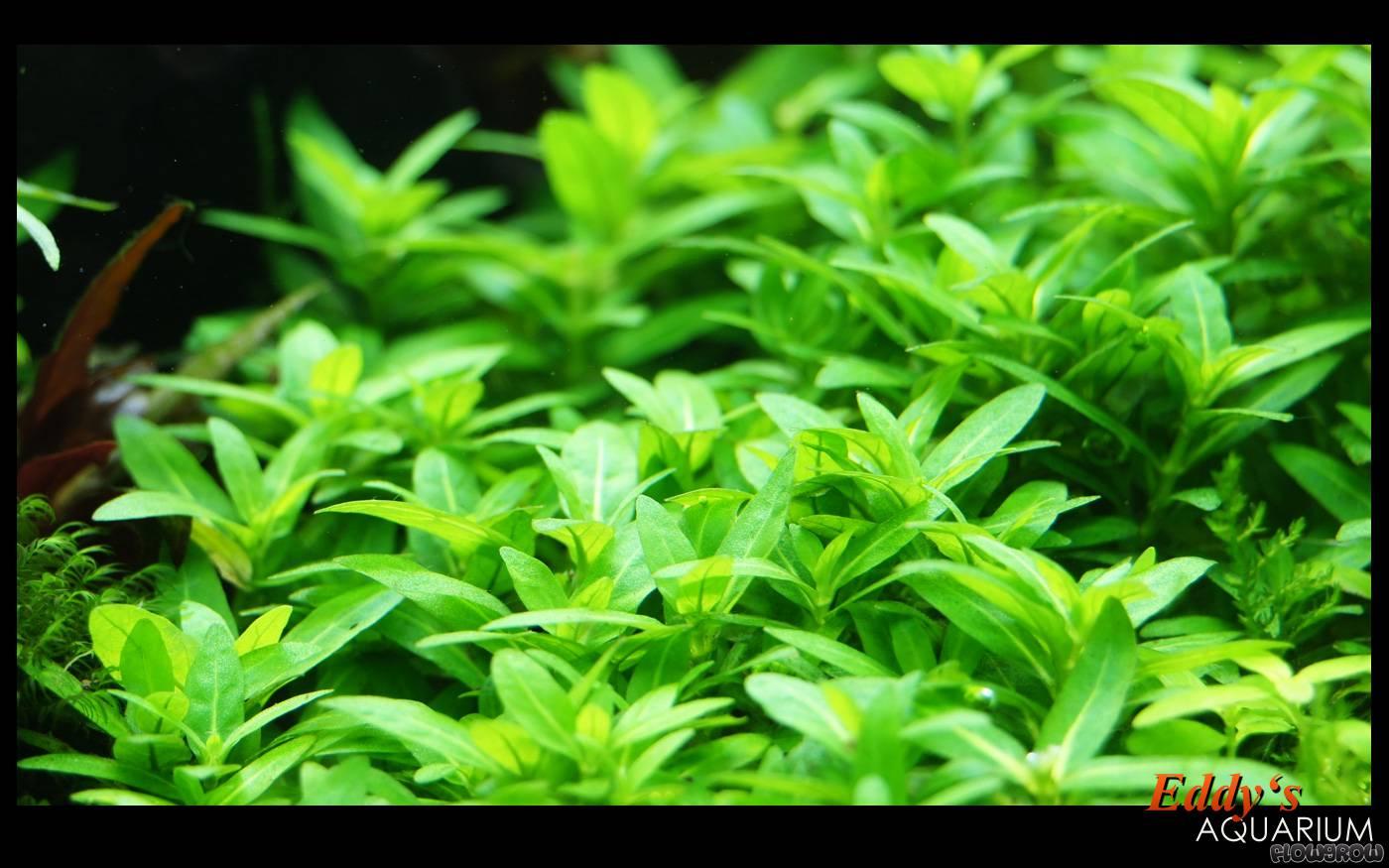 Staurogyne Repens Flowgrow Aquatic Plant Database