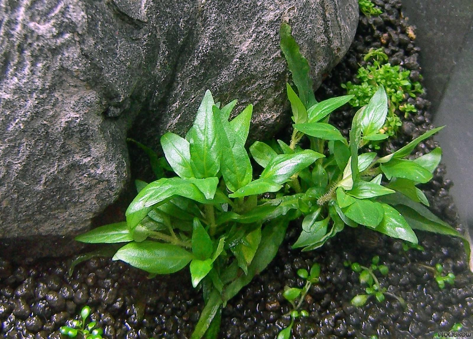 Staurogyne Sp Quot Porto Velho Quot Flowgrow Aquatic Plant Database