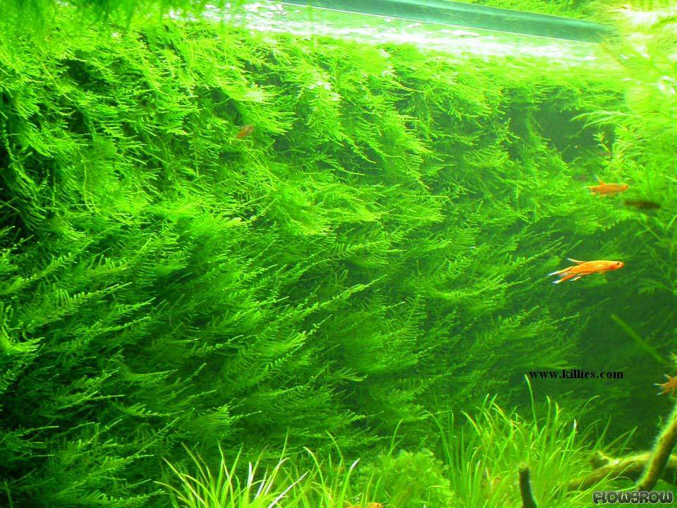 Fish tanks for the wall - Taxiphyllum Alternans Quot Taiwan Moss Quot Flowgrow Aquatic Plant Database