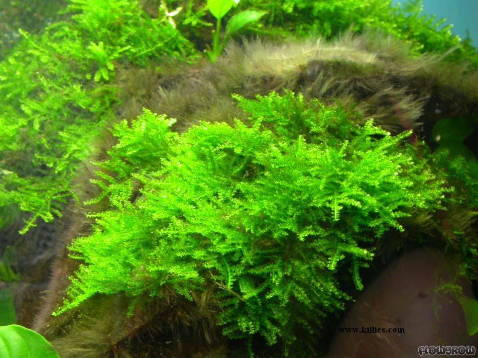 Vesicularia Dubyana Java Moss Flowgrow Aquatic Plant Database