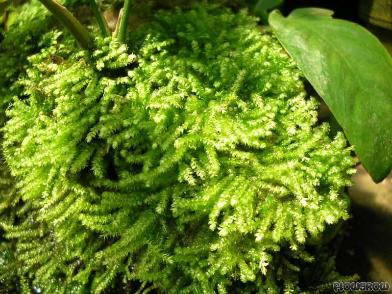 """Vesicularia Montagnei """"Christmas Moss"""""""